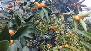qumquat.jpg